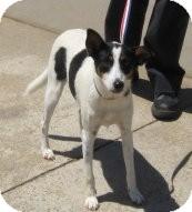 Rat Terrier/Fox Terrier (Toy) Mix Dog for adoption in Stillwater, Oklahoma - Spock