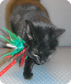 Domestic Shorthair Cat for adoption in Jackson, Michigan - Candace