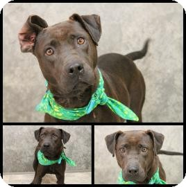 Labrador Retriever/American Staffordshire Terrier Mix Dog for adoption in East Rockaway, New York - Rosa