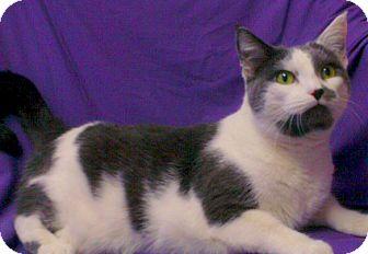 Domestic Shorthair Cat for adoption in Staunton, Virginia - Muffin