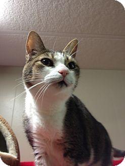 Domestic Shorthair Cat for adoption in Maple Ridge, British Columbia - Vivian