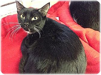 Domestic Shorthair Cat for adoption in Huntington, New York - Nellie