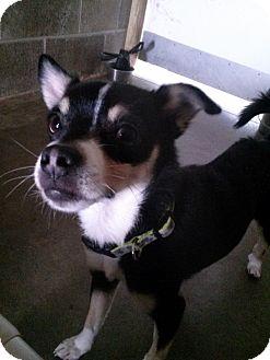 Chihuahua Mix Dog for adoption in Lake Odessa, Michigan - Jace