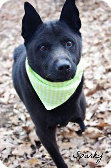 Labrador Retriever/Chow Chow Mix Dog for adoption in Poland, Ohio - SPARKY // 3