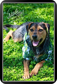 Terrier (Unknown Type, Medium) Mix Dog for adoption in Albany, New York - Scrappy Doo