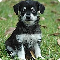 Adopt A Pet :: Sheldon - La Habra Heights, CA