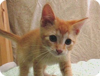 Domestic Shorthair Kitten for adoption in Lloydminster, Alberta - Lightning McQueen