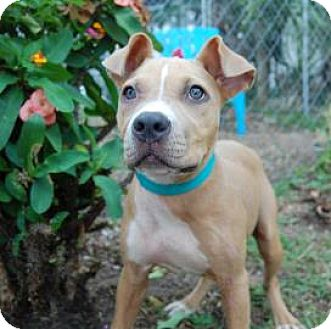American Staffordshire Terrier Mix Puppy for adoption in Bradenton, Florida - Foxy