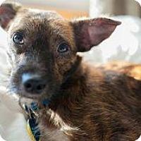 Adopt A Pet :: Gertrude McFuzz - Austin, TX
