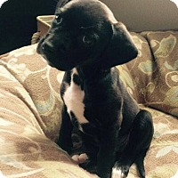 Adopt A Pet :: Lucy - Seattle, WA