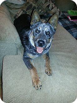 Blue Heeler/Australian Cattle Dog Mix Dog for adoption in Eastpointe, Michigan - Baron