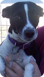Rat Terrier Dog for adoption in Greenville, Kentucky - macy