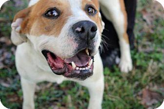 Boxer/American Bulldog Mix Dog for adoption in Brooklyn, New York - Clover
