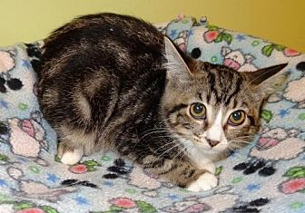 Domestic Shorthair Kitten for adoption in Tunica, Mississippi - Ruby