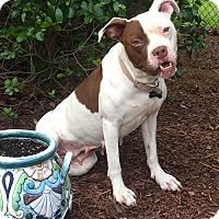 Adopt A Pet :: Pinta - Apex, NC
