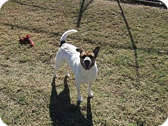 Australian Cattle Dog Mix Dog for adoption in Watauga, Texas - LILY