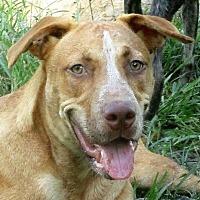 American Pit Bull Terrier/German Shepherd Dog Mix Dog for adoption in Lake Charles, Louisiana - Denzel