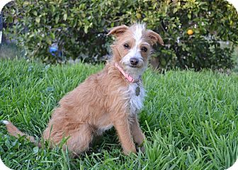 Italian Greyhound/Terrier (Unknown Type, Small) Mix Puppy for adoption in Simi Valley, California - Tinkerbell