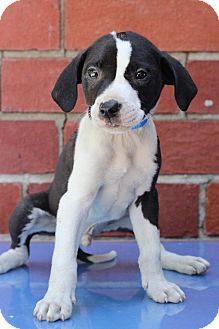 Pointer Mix Puppy for adoption in Waldorf, Maryland - Crow