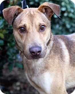 German Shepherd Dog/Labrador Retriever Mix Dog for adoption in San Diego, California - Nelson