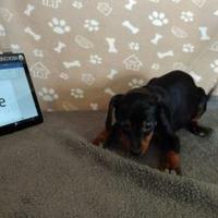 Adopt A Pet :: Hannie - Walpole, MA
