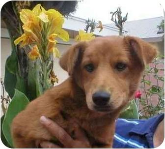 Shepherd (Unknown Type)/Shar Pei Mix Puppy for adoption in Poway, California - Carmen