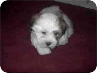 Shih Tzu/Lhasa Apso Mix Puppy for adoption in Ortonville, Michigan - Lux