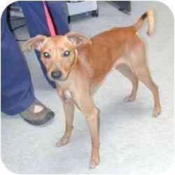 Italian Greyhound/Basenji Mix Dog for adoption in Berkeley, California - Caleb