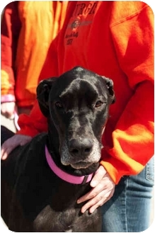 Great Dane Dog for adoption in Lewiston, Maine - Cayleigh