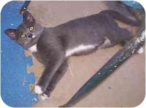 Domestic Shorthair Kitten for adoption in McDonough, Georgia - MacDougall