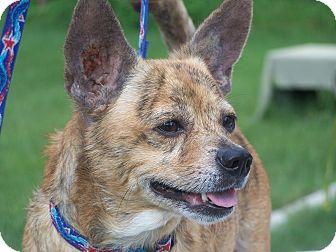 Chihuahua/Corgi Mix Dog for adoption in Odessa, Florida - JOJO