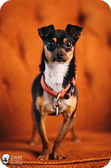 Chihuahua/Miniature Pinscher Mix Dog for adoption in Portland, Oregon - rascal