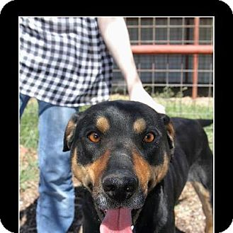 Catahoula Leopard Dog/Shepherd (Unknown Type) Mix Dog for adoption in Comanche, Texas - Flash