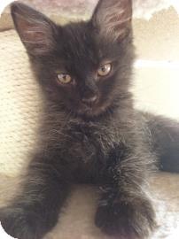 Domestic Mediumhair Kitten for adoption in Phoenix, Arizona - Yogi