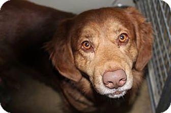 Golden Retriever/Australian Shepherd Mix Dog for adoption in HARRISONVILLE, Missouri - Murhpy