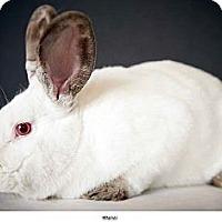 Adopt A Pet :: Massai - New York, NY