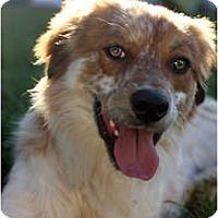 Adopt A Pet :: Christopher - Arlington, TX