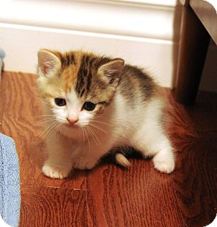 Domestic Shorthair Kitten for adoption in Saanichton, British Columbia - Silva