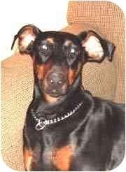 Doberman Pinscher Dog for adoption in New Orleans, Louisiana - Zena