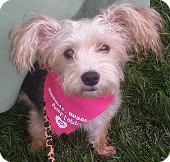 Silky Terrier Mix Dog for adoption in Palatine, Illinois - Cupcake