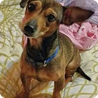 Adopt A Pet :: Lil Bit - Conroe, TX