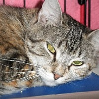 Adopt A Pet :: Nibs - Middletown, CT