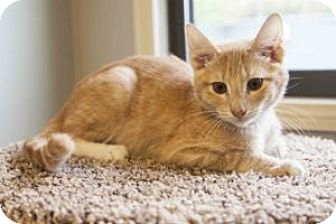Domestic Shorthair Kitten for adoption in Colorado Springs, Colorado - Jackson