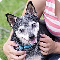 Adopt A Pet :: Mousy..I am an easy guy! - Redondo Beach, CA