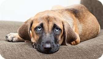 Hound (Unknown Type) Mix Puppy for adoption in Mt. Prospect, Illinois - Sprout