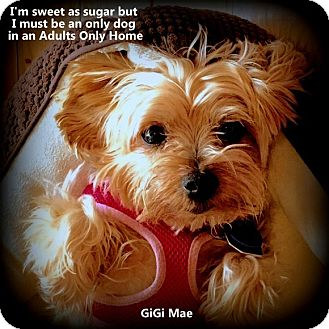 Yorkie, Yorkshire Terrier Dog for adoption in Beechgrove, Tennessee - Gigi Mae