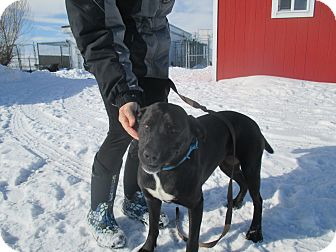 Labrador Retriever/American Staffordshire Terrier Mix Dog for adoption in Montpelier, Idaho - Jade