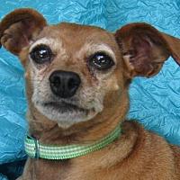 Adopt A Pet :: Brody Spodie - Cuba, NY