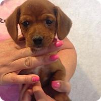 Adopt A Pet :: LUCY LITTER #6 - Pompton Lakes, NJ
