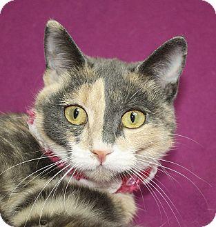 Domestic Shorthair Cat for adoption in Jackson, Michigan - Callie